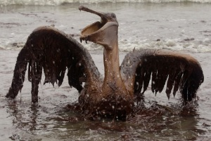BP's Brown Pelican